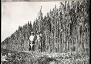 1930's Hemp Field
