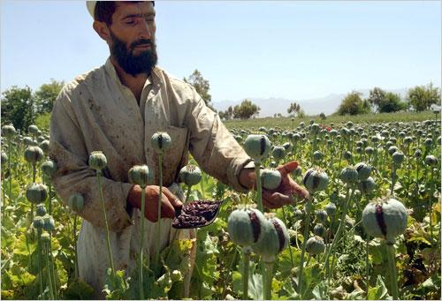 opium-poppies-afghanistan